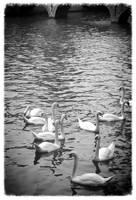 Swans in Brugge best posterized by Carol Groenen