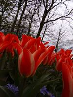 Red Beautiful - Keukenhof Garden, The Nederlands