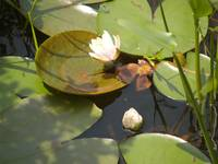 Pink Water Lilies In A Marsh