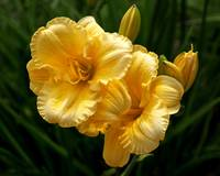 Fancy Yellow Daylilies