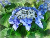 Blue Lace Cap Hydrangea Let's Dance Starlight