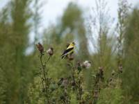 A Yellow And Black Finch Rests Upon Vegetation