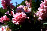 Bouquet Of Carnations On A Spring Morning