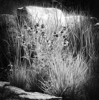 bw daisies and rocks