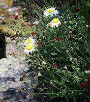 hdr daisies and rocks