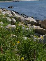 Wildflowers On A Rocky Beach