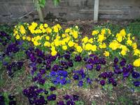 Yellow and Purple Flowerbed