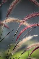 Pink Plumes Of Ornamental Grass