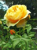 Gardens - Yellow Rose and Buds