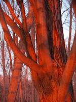 Close Up Of Tree Glowing Orange By A Sunset