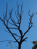 Dead Tree; Blue Skies