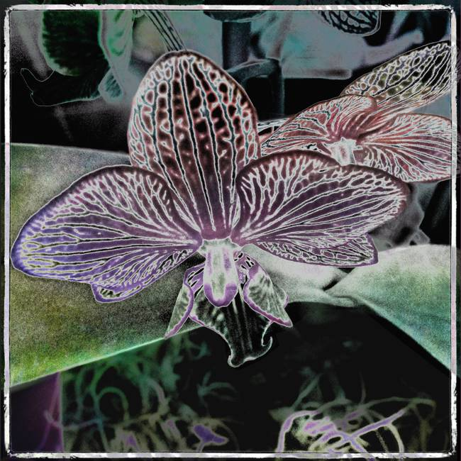 Psychedelic Orchid