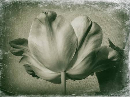 Tulip Retro