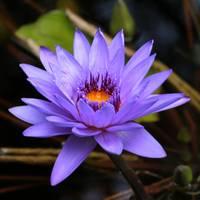 Purple Water Lily by Carol Groenen