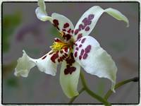 Oncidium by Giorgetta Bell McRee