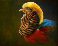 golden pheasant portrait