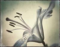 Star Gazer Lily by Giorgetta Bell McRee