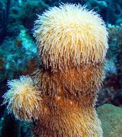 Corky Sea Finger Coral Sponge feeding on Current