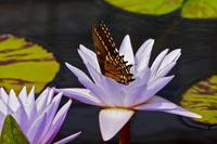 Swallowtail and Water Lily A Rare Sight