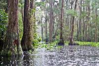 Rain in the Okefenokee
