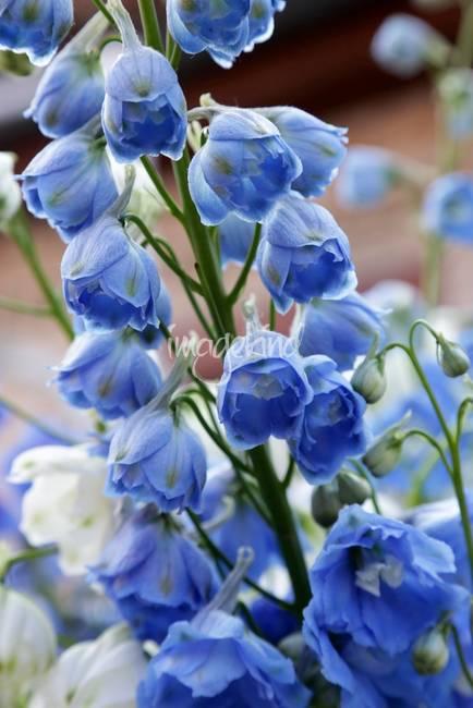 Light Blue Delphiniums