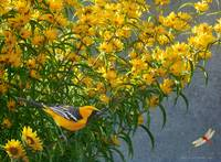 yellow flowers hooded oriole
