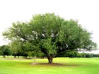 Green tree on golf course