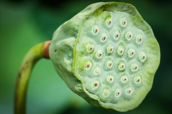 Stunning Lotus Seed Pod Artwork For Sale On Fine Art Prints
