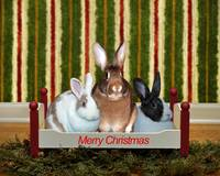 Three Bunnies At Christmas