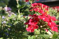 Bright Red Petunias