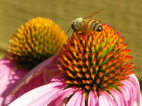Bee on The Coneflower