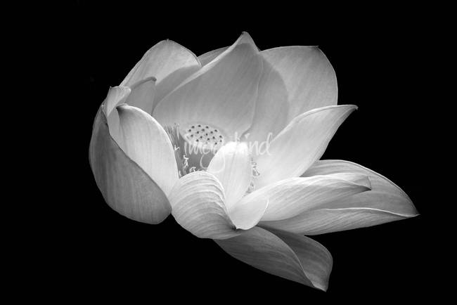 Indian sacred lotus in black and white by lightheart 2013
