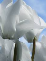 Soft Delicate Touch White Cyclamen