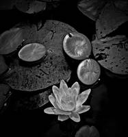 Another Water Lily