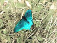 Colorful Blue Butterfly In Flight