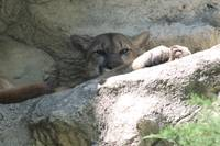 Mountain Lion resting on rocks