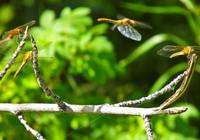 dragon flies in motion