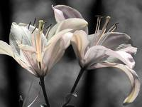 twin lilies soft color