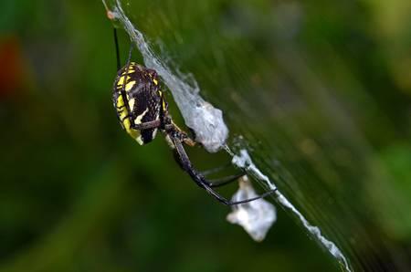 Garden Spider Profile
