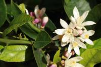 Flowers on Lemon Tree