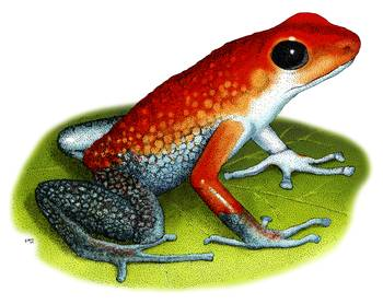 Granular Poison Dart Frog by artist Roger Hall. Giclee prints, art prints, animal art, frog art, Poison Arrow Frog (Dendrobates granuliferous); from an original pen and ink drawing