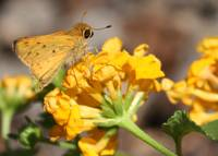 Yellow Moth on Yellow Flower