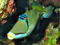 Picasso Triggerfish At Depth