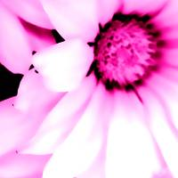 Daisy in Hot Pink Art Prints & Posters by Barbara Pates