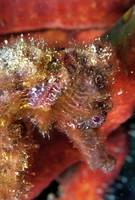 Red Seahorse, Red Sponge