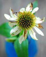 Coneflower,Echinacea in a blue vase. Closeup