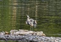 Clean & Preen Blue Heron Photo Print
