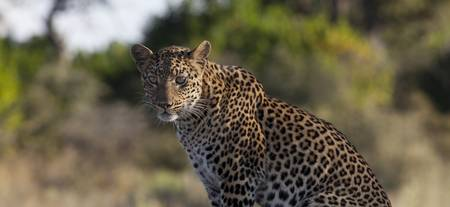 Leopard on termite mound panorama