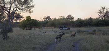 Wild Dog Pack Sunset