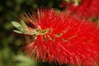 South African Bottle Brush Plant